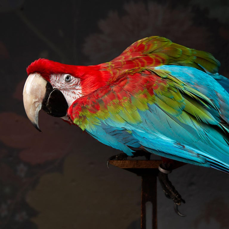 Fine Taxidermy Red-and-green Macaw I by Sinke & Van Togeren In Excellent Condition For Sale In Haarlem, NL