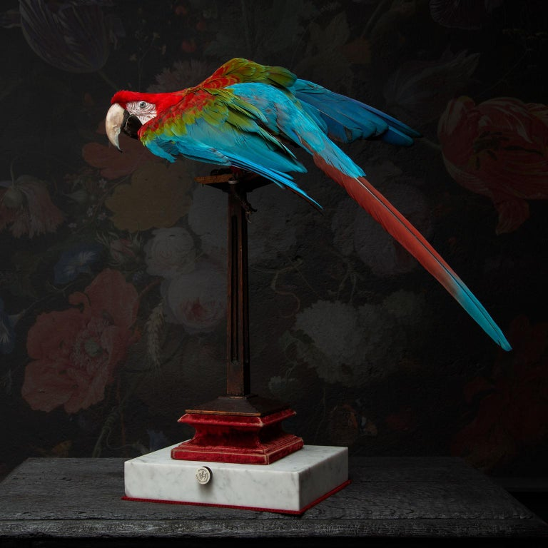 Contemporary Fine Taxidermy Red-and-green Macaw I by Sinke & Van Togeren For Sale