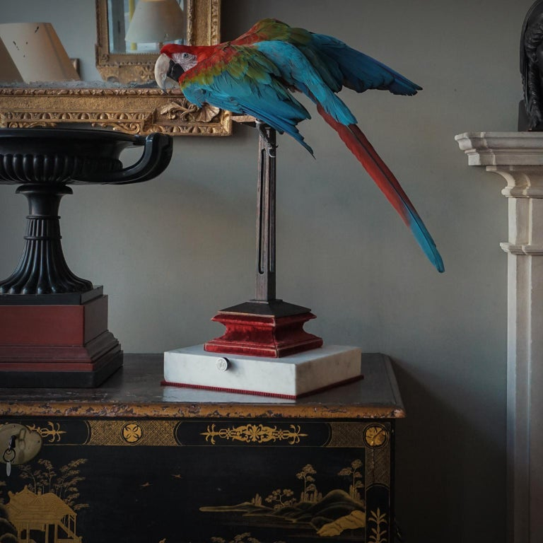 Fine Taxidermy Red-and-green Macaw I by Sinke & Van Togeren For Sale 3