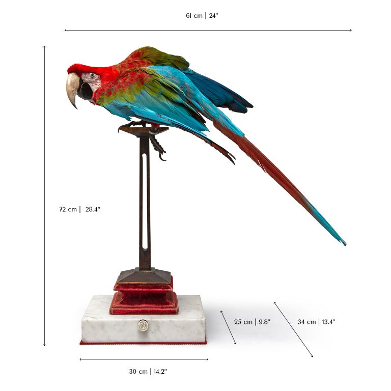 Fine Taxidermy Red-and-green Macaw I by Sinke & Van Togeren For Sale 4