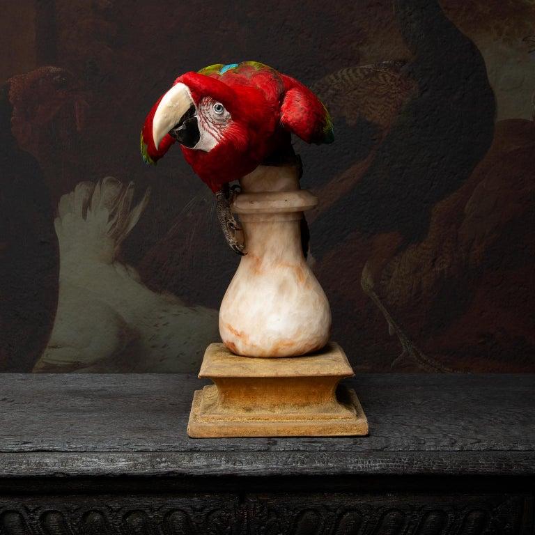 Fine Taxidermy Red-and-Green Macaw II by Sinke & Van Tongeren For Sale 5