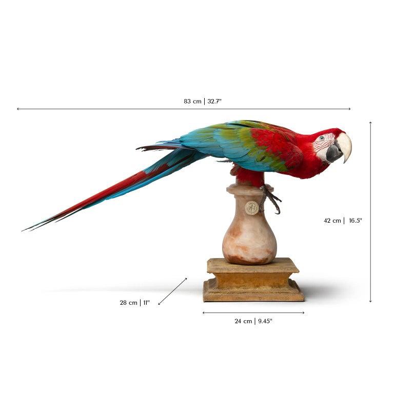 Fine Taxidermy Red-and-Green Macaw II by Sinke & Van Tongeren For Sale 7