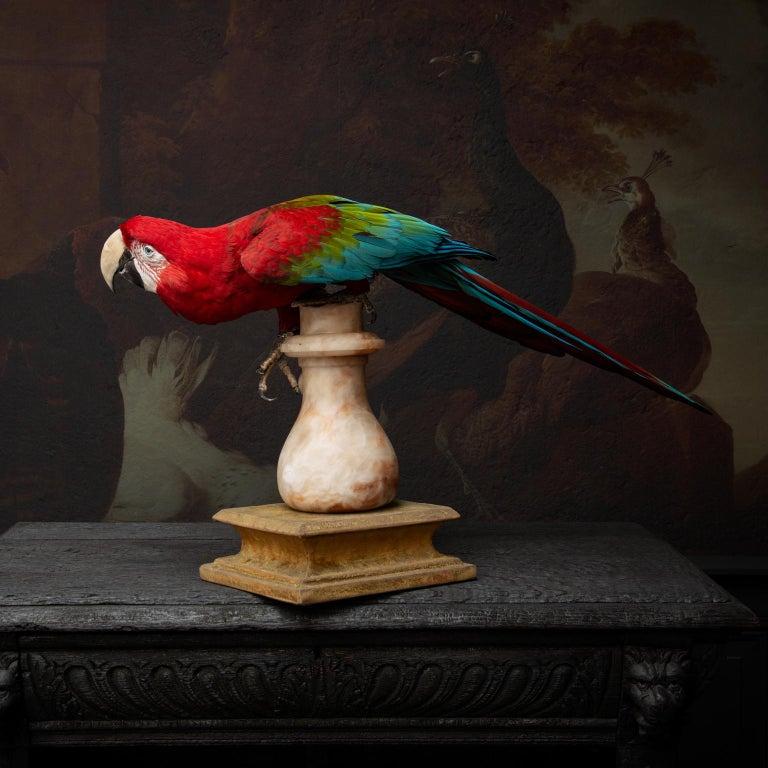 Dutch Fine Taxidermy Red-and-Green Macaw II by Sinke & Van Tongeren For Sale