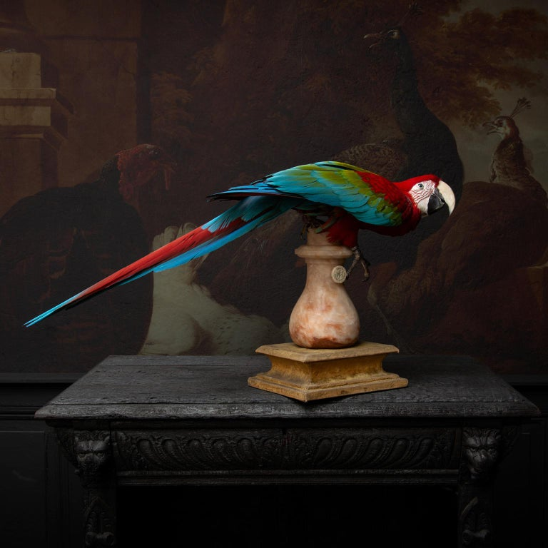 Fine Taxidermy Red-and-Green Macaw II by Sinke & Van Tongeren In Excellent Condition For Sale In Haarlem, NL