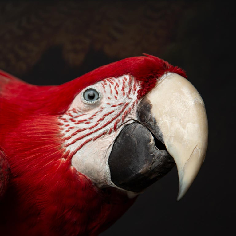 Fine Taxidermy Red-and-Green Macaw II by Sinke & Van Tongeren For Sale 1
