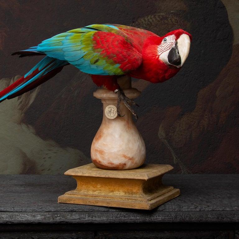 Fine Taxidermy Red-and-Green Macaw II by Sinke & Van Tongeren For Sale 3