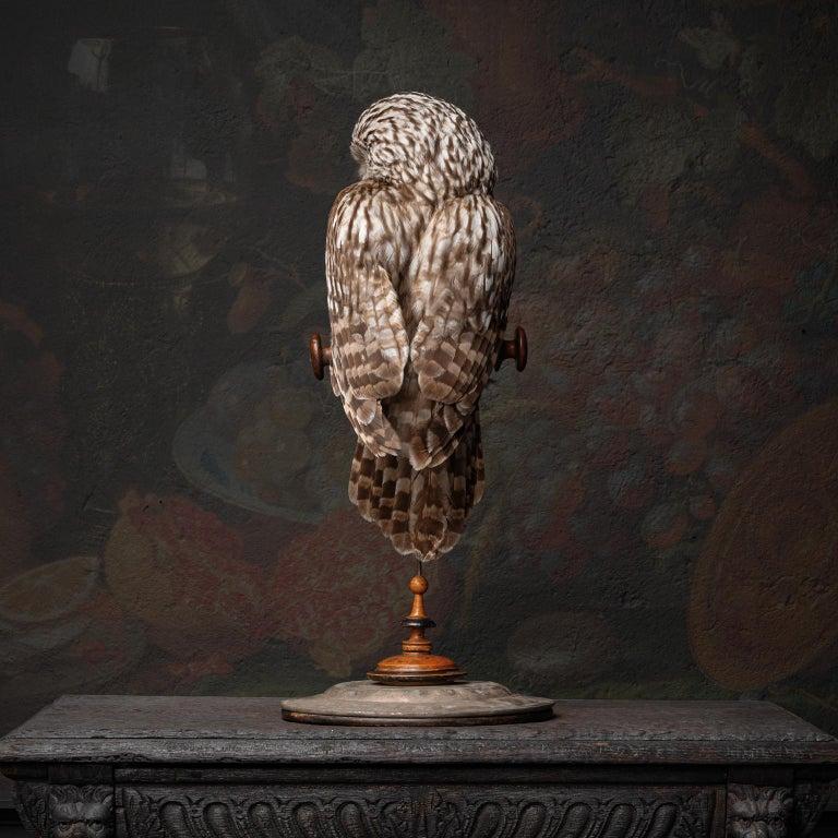 European Fine Taxidermy Ural Owl & Black Mamba by Sinke & Van Tongeren