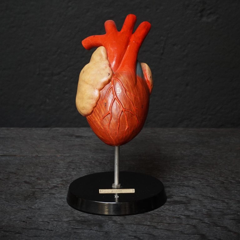 Five 1950s German Anatomical VEB SVL Models of Animal Hearts For Sale 9