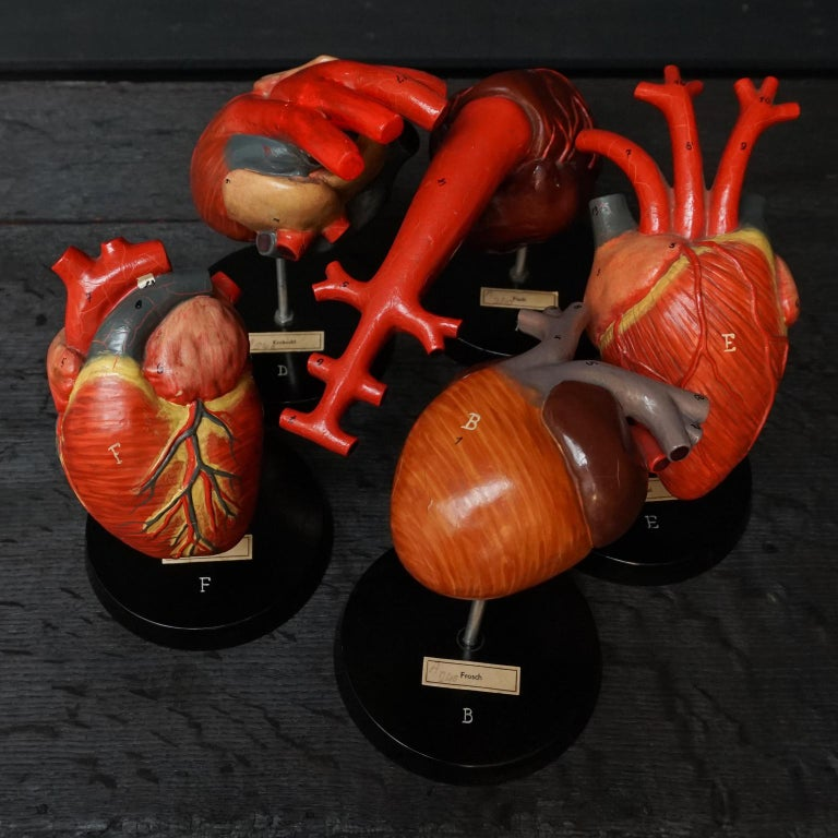 20th Century Five 1950s German Anatomical VEB SVL Models of Animal Hearts For Sale