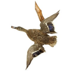 Flying Duck Taxidermy, Czechoslovakia, 1930s