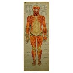 Foldable Anatomical Wall Chart Depicting Human Musculature