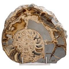 Fossil Ammonite from UK Mounted on Custom Aluminum Stand, Jurassic Period