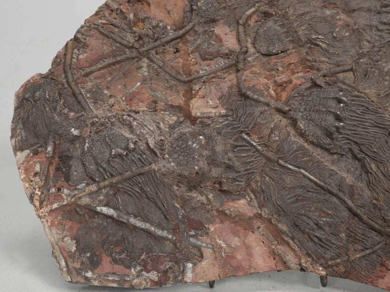 Fossil Crinoid or Scyhocrinus elegans Devonian period or about 360 million years old and located in Morocco. More commonly referred to as sea lilies. Crinoids are a member of the echinoderm group of animals and is not a plant.