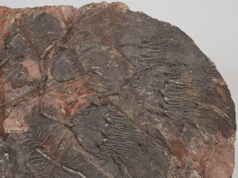 18th Century and Earlier Fossil Crinoid or Scyhocrinus Elegans 350 Million Years Old For Sale