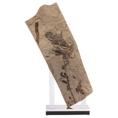 Fossil Fern from Green River Formation, Mounted on a Custom Acrylic Stand