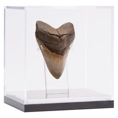 "Fossil Megalodon ""the Monster Shark"" Tooth in Acrylic Custom Box"