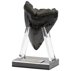 "Fossil Megalodon ""The Monster Shark"" Tooth in Acrylic Custom Stand"
