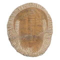 Fossil of Cambropallas Trilobite from Paleozoic Era of the Cambrian Period