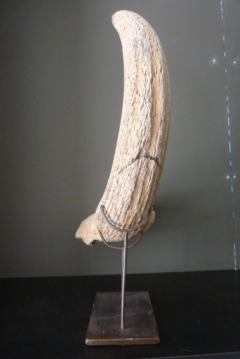 Fossil Steppe Bison Horn with Skull Piece 'Bison Priscus' In Good Condition For Sale In Groningen, NL