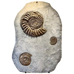 Fossilised Ammonite Wall Plate