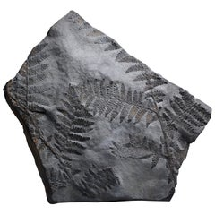 Fossilised Seed Fern Plant, 300 Million Years before Present