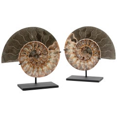 Fossilized Mounted Ammonite Slices on Custom Black Metal Bases, Pair
