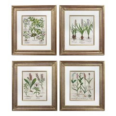 Four Framed Hand Colored Engravings by Basilius Besler