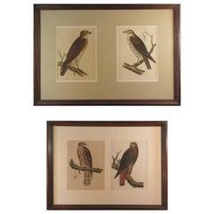 Four Hand Colored Lithographs of Birds of Prey, circa 1859