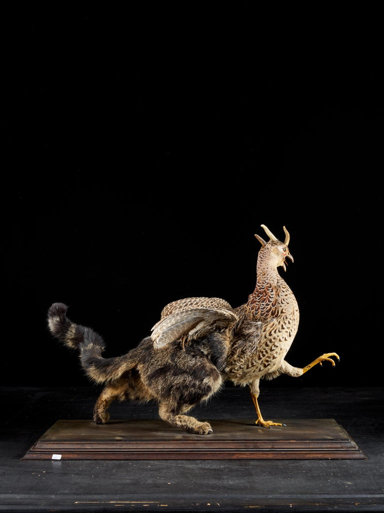 The Chimera was a monstrous hybrid creature, composed of the parts of more than one animal. This dangerous looking Chimera is a combination of the back of a cat and its tale as well as a pheasant head, chest and wings. The cats' fur is in two shades