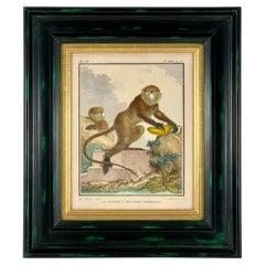 Framed 18th Century Comte de Buffon African Monkey French Engraving, La Guenon
