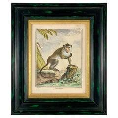 Framed 18th Century Comte de Buffon Indian Monkey French Engraving, L'Aigrette