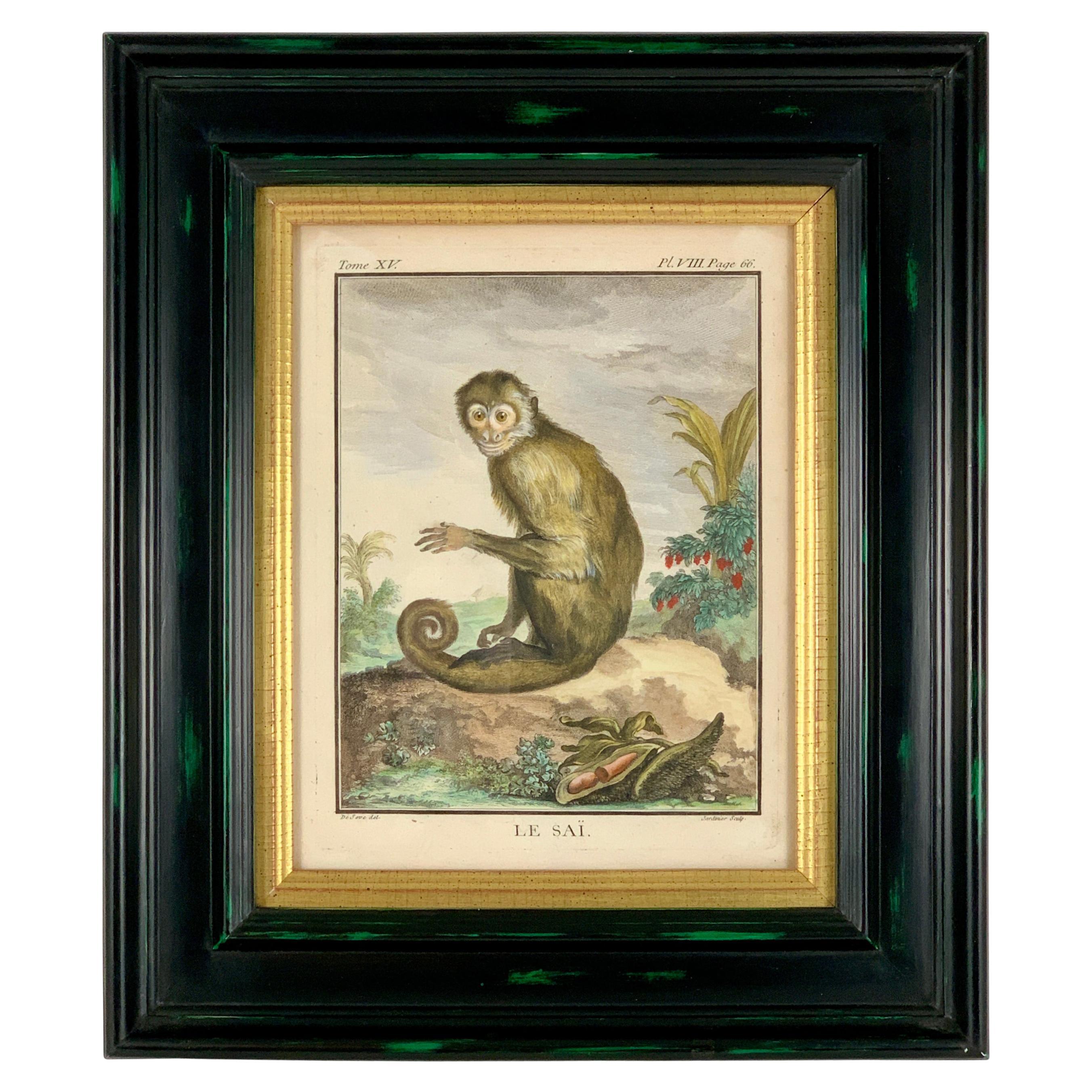 Framed 18th Century Comte de Buffon Squirrel Monkey French Engraving, Le Saï