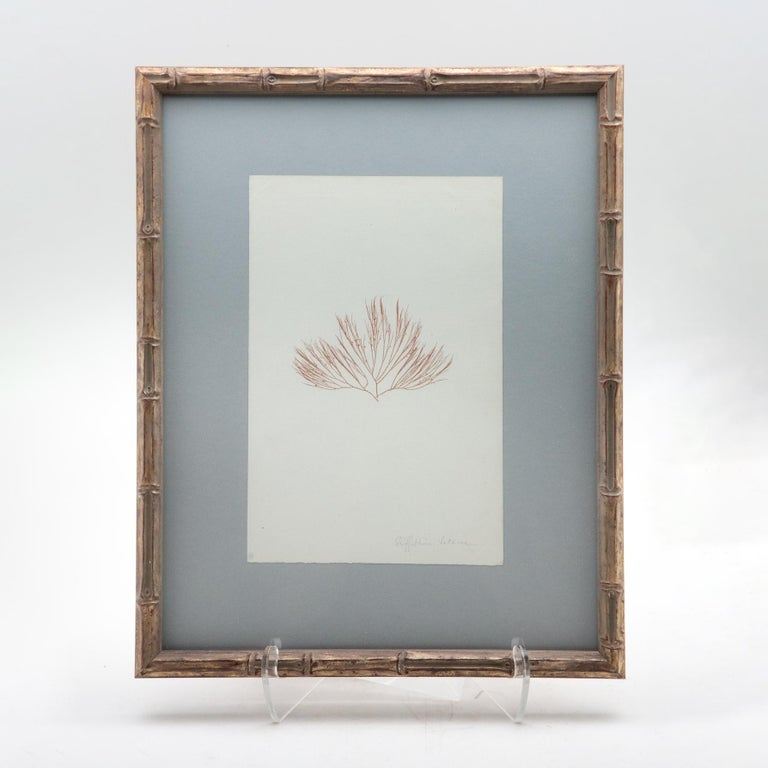 Four framed and pressed alguier or seaweed specimens from a two volume collection
