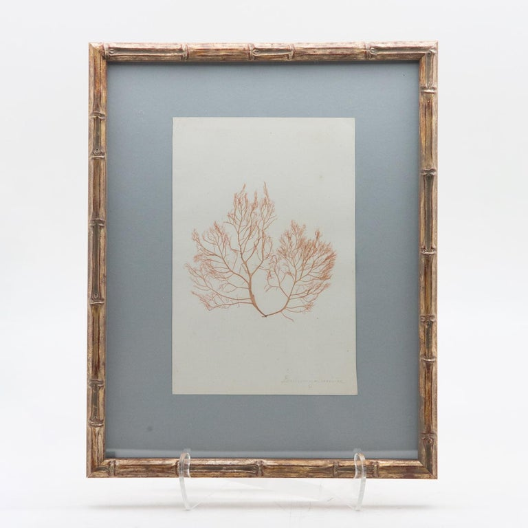 Framed and Pressed French Alguier 'Herbier'