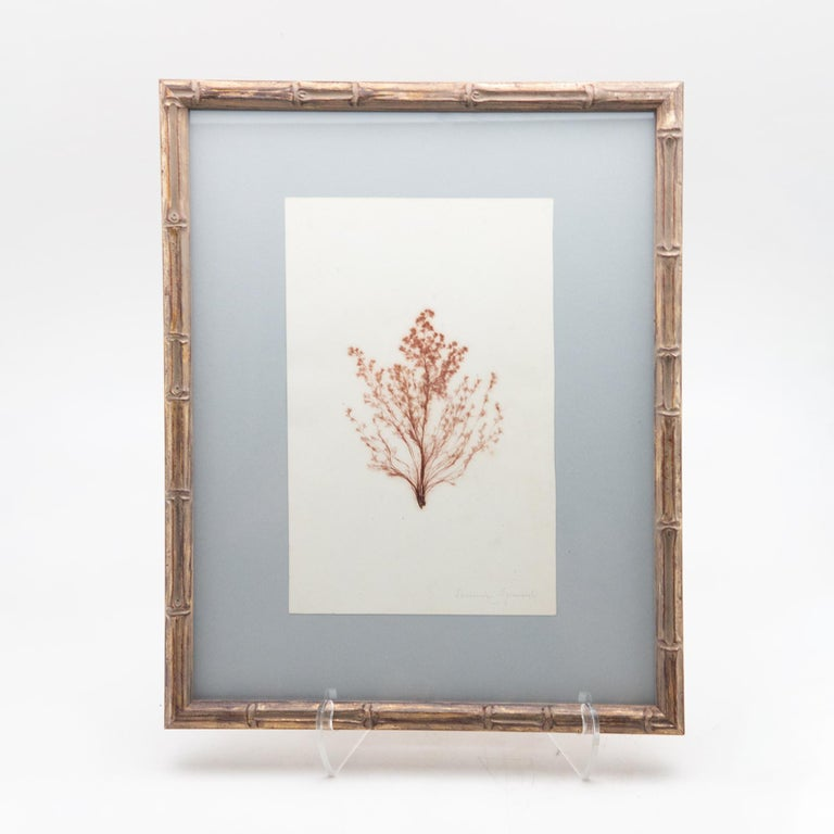 19th Century Framed and Pressed French Alguier 'Herbier'