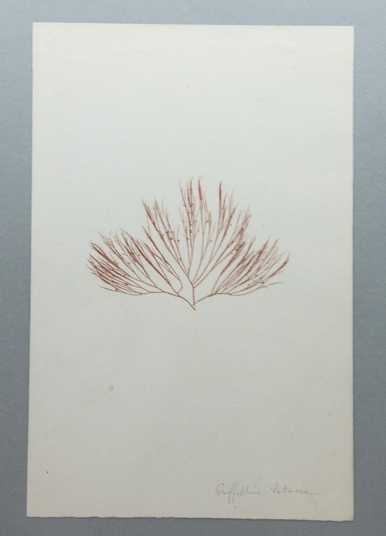Faux Bamboo Framed and Pressed French Alguier 'Herbier'