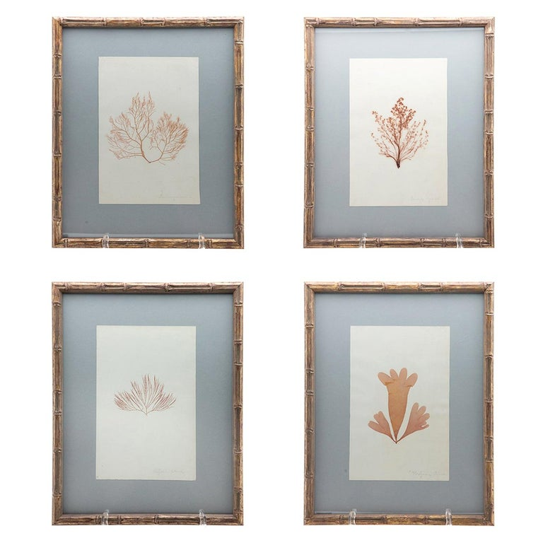 """Framed and Pressed French Alguier 'Herbier' """"Pressed Seaweed"""" Specimens For Sale"""