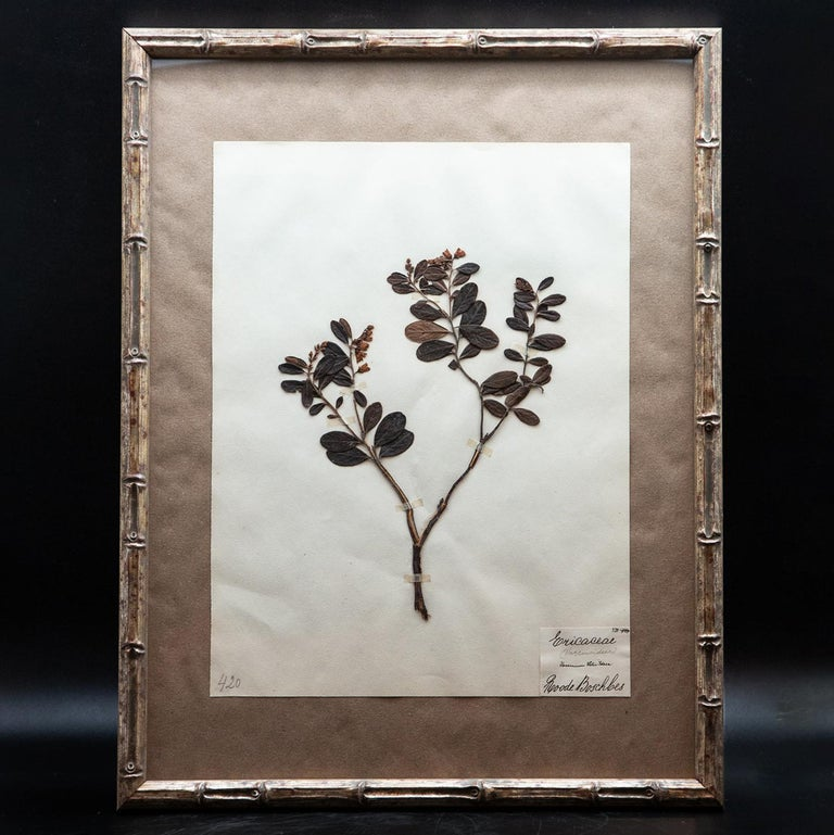 Four framed and pressed plants from a collection of botanical pressings purchased in France. In the late 19th century collecting and pressing plants was all the rage for affluent Europeans. These collectors spent hours drying, pressing and mounting