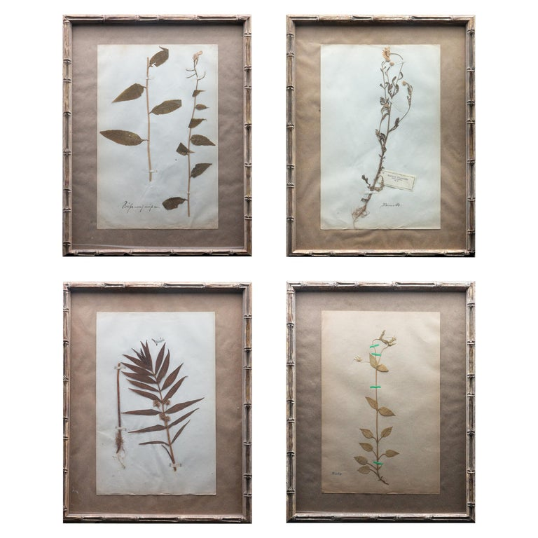 """Framed and Pressed French 'Herbier' """"Pressed Plant"""" Specimens For Sale"""