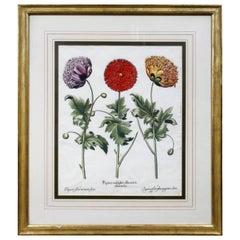 Framed Botanical by Basilius Besler