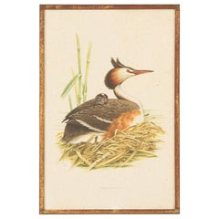 Framed Engraving Print of Crested Grebe Bird, France, 20th Century