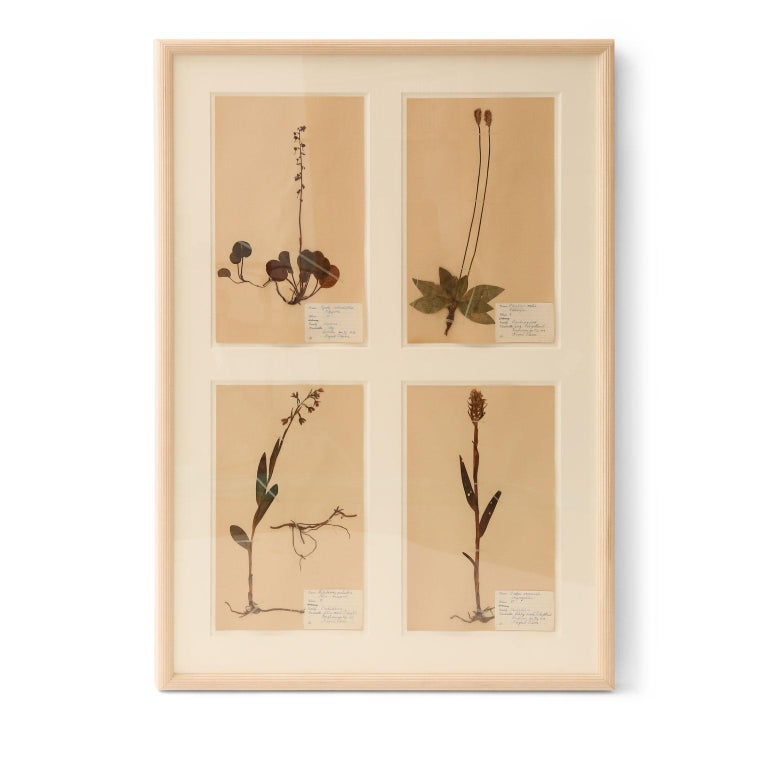 Framed set of four vintage herbaria (circa 1930-1949, Sweden). Each herbarium (botanical) measures 15.75 inches high x 9.5 inches wide and floats within a cut mat window. The set of four is framed in unfinished reeded wood. Two framed sets are