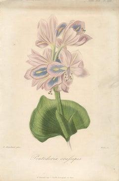 1858 Francois Herincq 'Pontoderia crafsipes' Vintage Green,Pink Lithograph