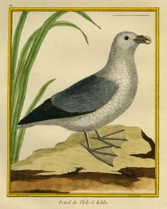 Northern Fulmar by Martinet - Handcoloured engraving - 18th century