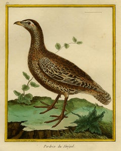 Partridge from Senegal by Martinet - Handcoloured engraving - 18th century