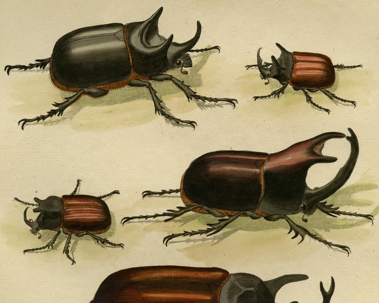 Scarab Beetles by Martinet - Handcoloured engraving - 18th century - Old Masters Print by Francois Nicolas Martinet