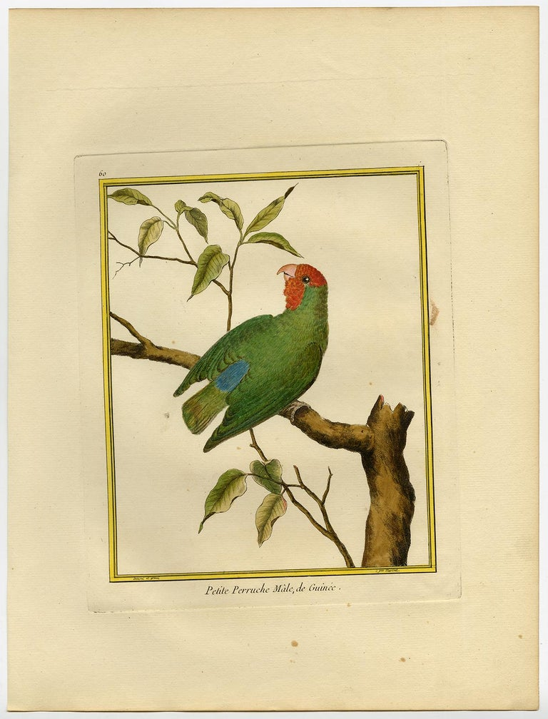Small Parakeet from Guinea by Martinet - Handcoloured engraving - 18th century - Print by Francois Nicolas Martinet