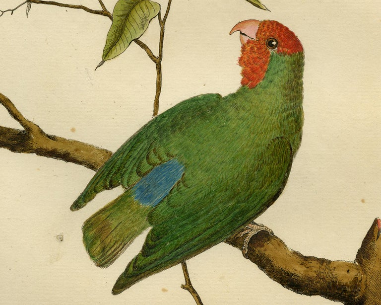 Small Parakeet from Guinea by Martinet - Handcoloured engraving - 18th century - Old Masters Print by Francois Nicolas Martinet