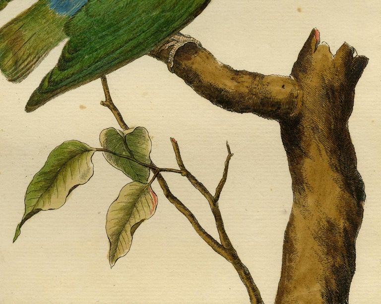 Small Parakeet from Guinea by Martinet - Handcoloured engraving - 18th century For Sale 3