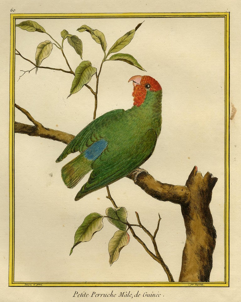 Francois Nicolas Martinet Animal Print - Small Parakeet from Guinea by Martinet - Handcoloured engraving - 18th century